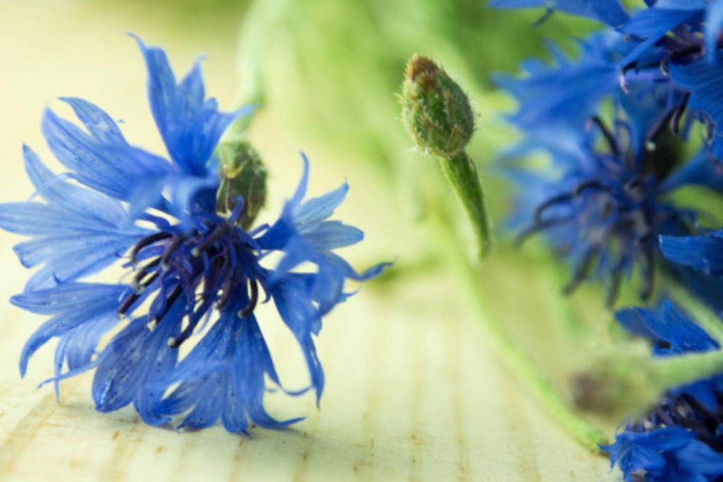 Le bleuet la fleur anti inflammatoire pour apaiser les maux du quotidien1 width1024